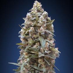 California Kush fem - 00 Seeds