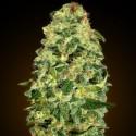 Auto California Kush - 00 Seeds