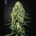 Super Silver Haze CBD fem - Green House Seeds