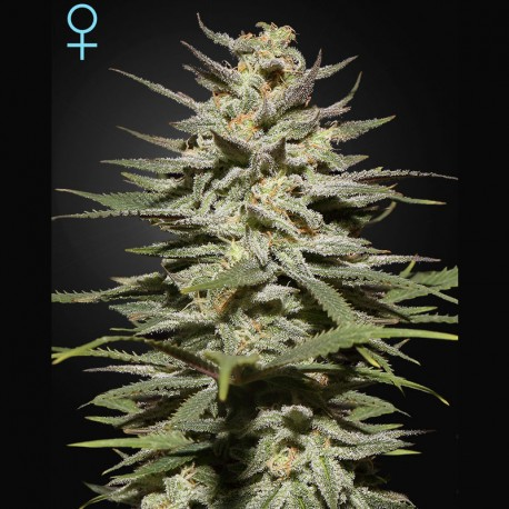 Super Lemon Haze CBD fem - Green House Seeds