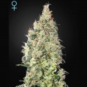 Great White Sharck CBD fem - Green House Seeds