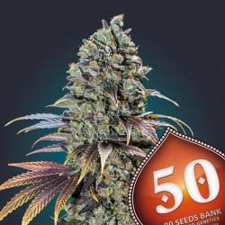 Pack 50 Semillas Feminizadas - 00 Seeds