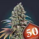 Pack 50 Feminized Seeds - 00 Seeds