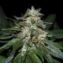 Milky Buds - Natural Genetics Seeds