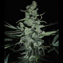 Phantom Glue REG - Natural Genetics Seeds