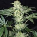 LA S.A.G.E. CBD fem - TH Seeds