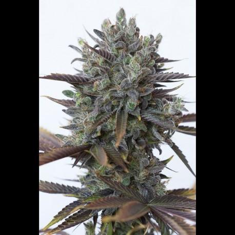 Purple Orange CBD fem - Dinafem