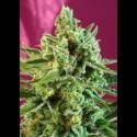 S.A.D CBD (Sweet Afghani Delicious) fem - Sweet Seeds