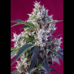 Indigo Berry Kush fem - Sweet Seeds