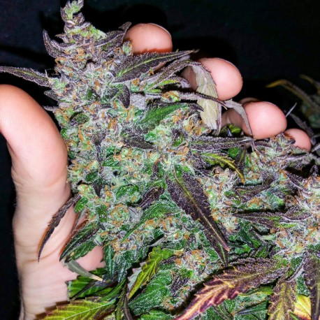 Fastberry auto - Fast Buds
