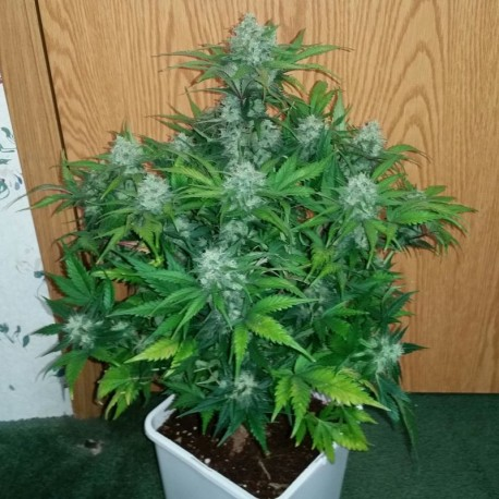 Green Crack auto - Fast Buds