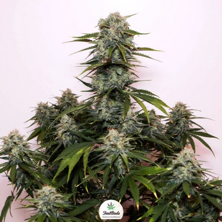Tangie'matic auto - Fast Buds