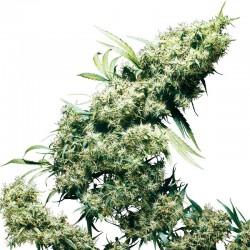 Jamaican Pearl fem - Sensi Seeds
