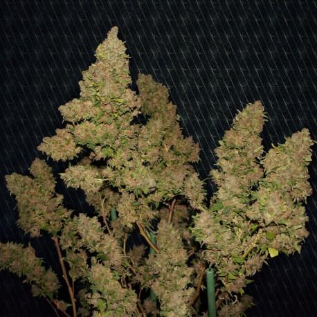 M.O.B fem - TH Seeds