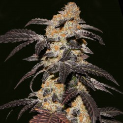 French Cookies fem - TH Seeds