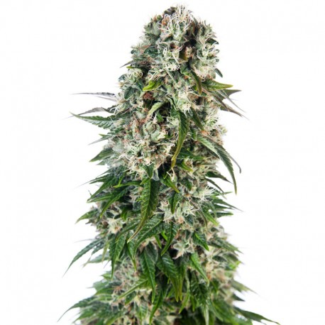 Big Bud auto - Sensi Seeds