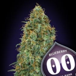 Blueberry fem - 00 Seeds