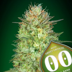Auto Sweet Critical - 00 Seeds