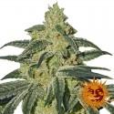 Afghan Hash Plant reg - Barney's Farm