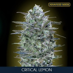 Critical Lemon fem - Advanced Seeds