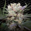 Californian Gold fem - Paradise Seeds