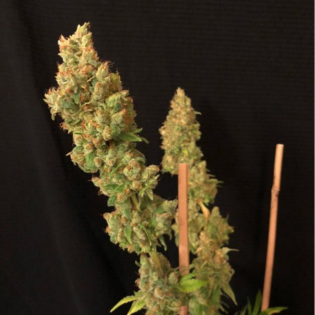 Strawberry AKeil fem - Serious Seeds