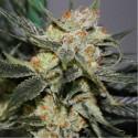 Strawberry Shortcaker REG - Dark Horse Genetics
