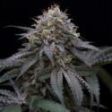 Sugar Breath fem - Humboldt Seeds