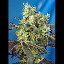 Do-Sweet-Dos fem - Sweet Seeds