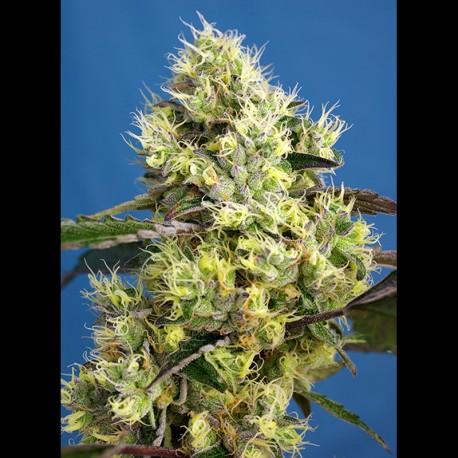 Sweet Gelato auto - Sweet Seeds