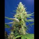 Sweet Pure CBD auto - Sweet Seeds