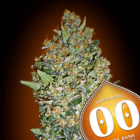 Cheese Berry fem - 00 Seeds