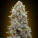 Auto Cheese Berry - 00 Seeds