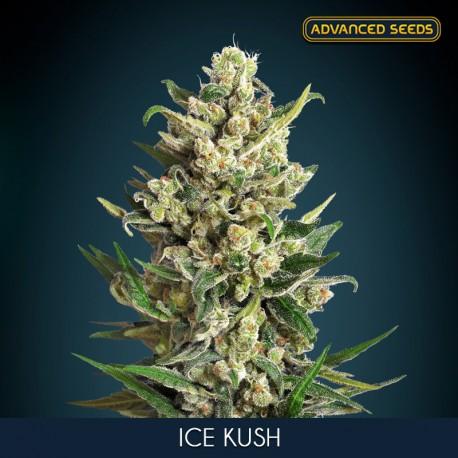 Ice Kush fem - Advanced Seeds