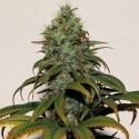 Medikit CBD fem - Buddha Seeds