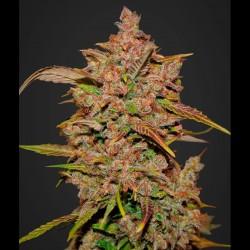 Crystal Meth auto - Fast Buds