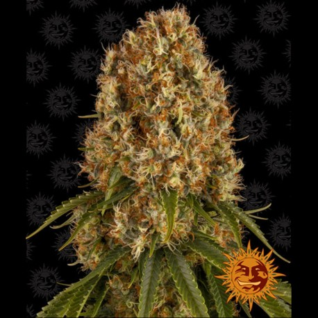 Orange Sherbert fem - Barney's Farm
