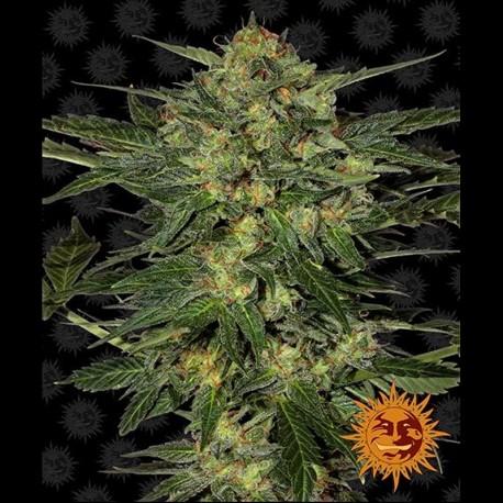 LSD fem - Barney's Farm