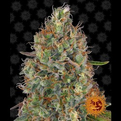 Auto Sweet Tooth