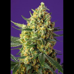 Crystal Candy XL auto - Sweet Seeds