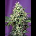 Sweet Amnesia Haze XL auto - Sweet Seeds