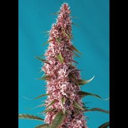 Red Pure CBD auto - Sweet Seeds