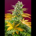 Gorilla Girl Fast Version - Sweet Seeds