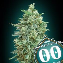 Auto Northern Lights XXL - 00 Seeds