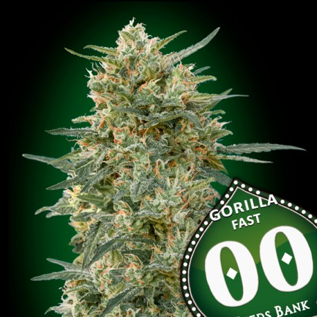 Gorilla Fast Version fem - 00 Seeds