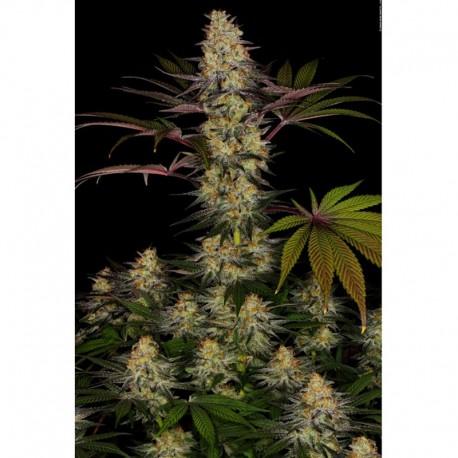 El Dorado OG fem - Paradise Seeds