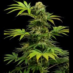 Black Harlequin fem - Sensi Seeds
