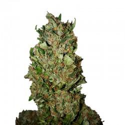 Cannatonic CBD + fem - CBD Buds