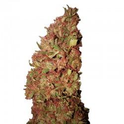 Strawberry CBD + fem - CBD + Buds