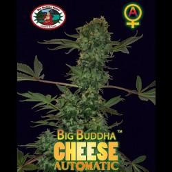 Big Buddha Cheese auto - Big Buddha Seeds